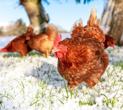 Protéger ses poules du froid